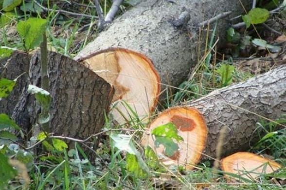 Անտառապահին մեղադրանք է առաջադրվել՝ թվով 75 հատ ծառ ապօրինի հատելու համար