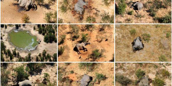 Разгадана тайна массовой гибели слонов в Ботсване, перед смертью ходивших кругами у водоемов