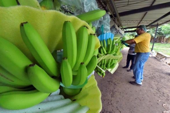 Из-за извержения вулкана в Эквадоре миру грозит банановый дефицит (видео)
