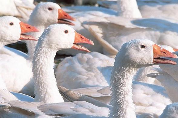 В Японии уничтожат 12 тыс. гусей из-за птичьего гриппа