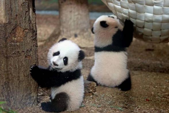 В старейшем зоопарке Японии родились панды-близнецы