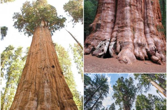 Пожарные в США спасают самое большое дерево в мире